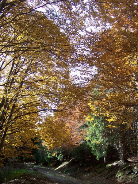 Hêtres en automne